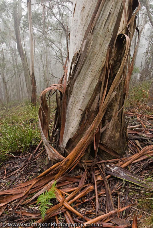 image of Jenolan ribbon gum