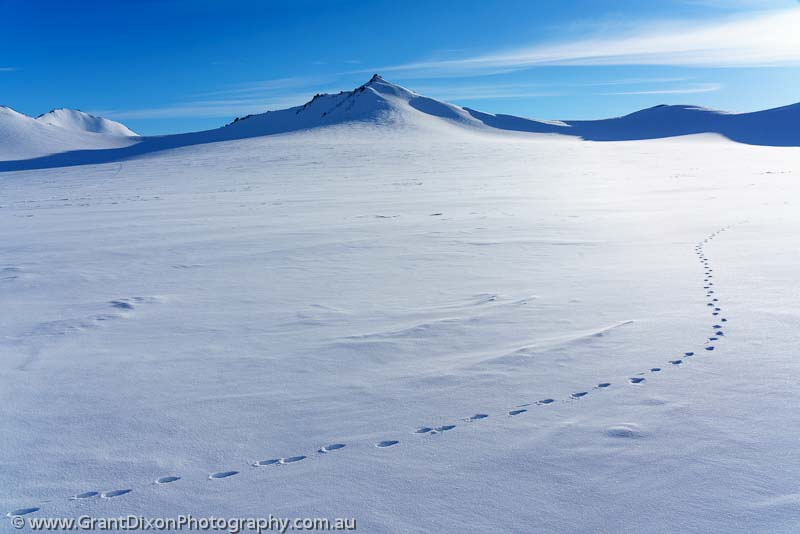 image of Arctic Hare tracks