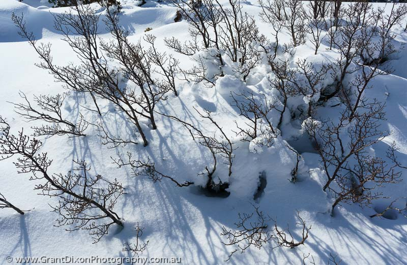 image of Fagus in snow