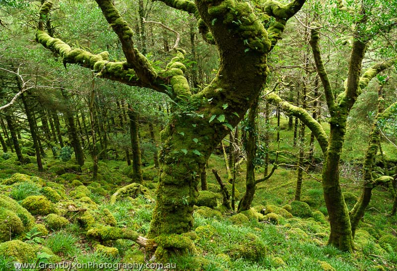 image of Killarney mossy forest