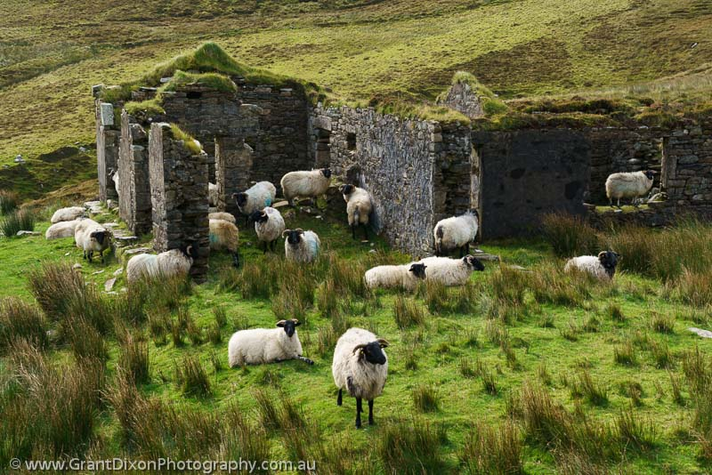 image of Sheep & ruined house