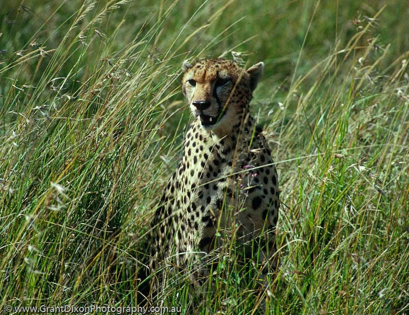 image of Masai cheetah