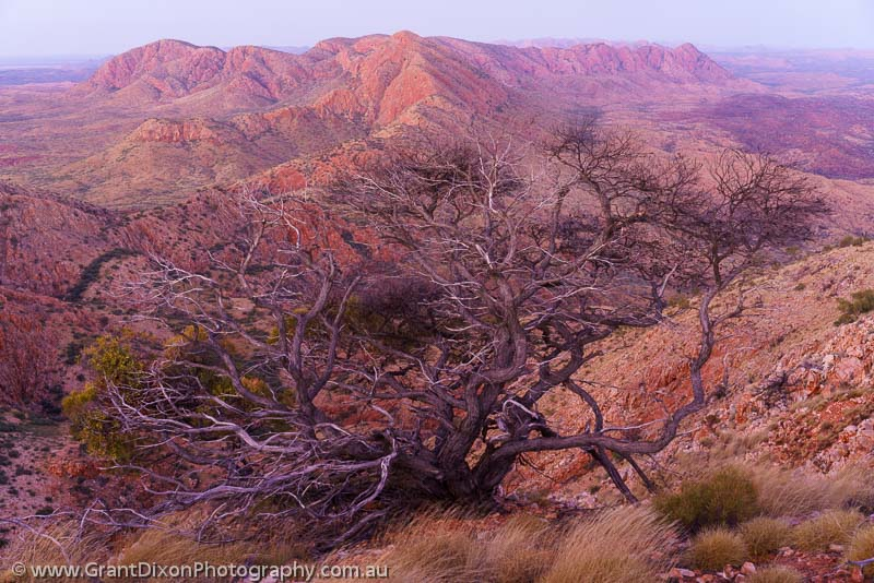 image of Chewings Range twisted tree dusk