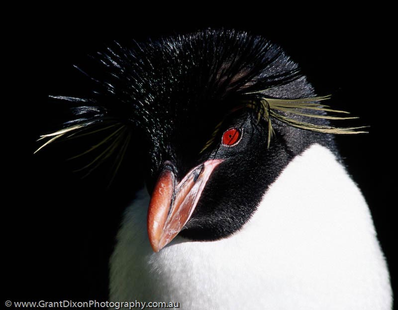 image of Rockhopper penguin 1, MI