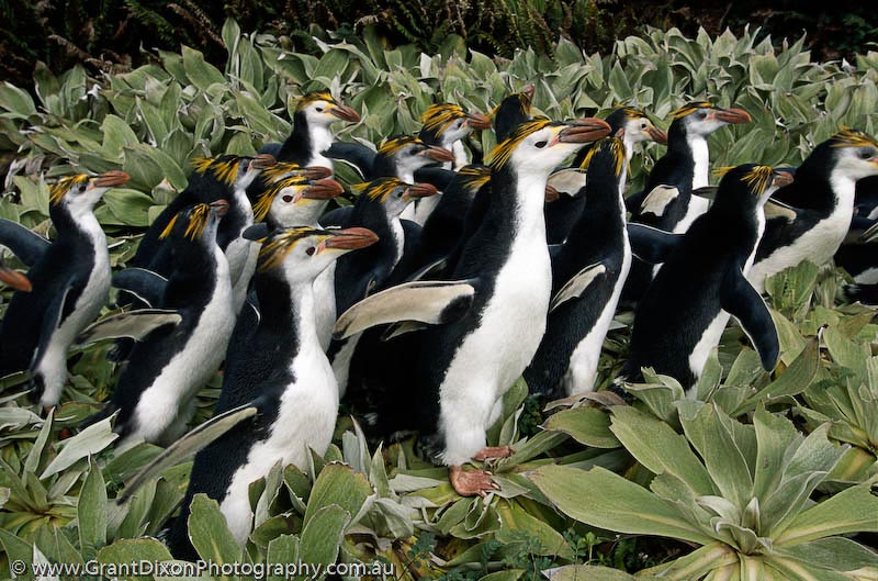 image of Royal penguins in vegetation