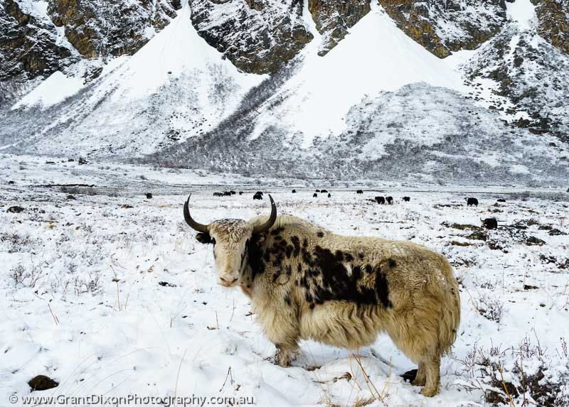 image of Chyarga Yak in snow