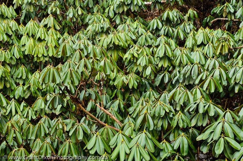 image of Rhododendron leaves