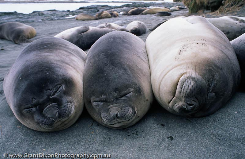 image of Elephant seal weaner sausages 1