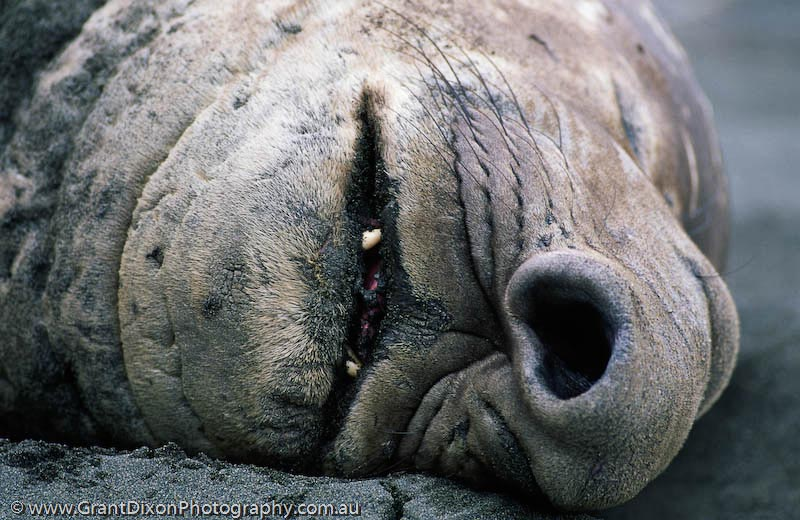 Elephant seal nose 3 - image by Australian photographer Grant Dixon