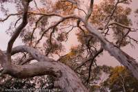 AUSTRALIA, NSW, Southern Tablelands, Morton National Park. Snowgum (Eucalyptus pauciflora) woodland at sunset, near Wog Wog Creek.