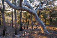 AUSTRALIA, NSW, Southern Tablelands, Morton National Park. Snowgum (Eucalyptus pauciflora) woodland at sunrise, near Wog Wog Creek.