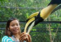 Feeding Wreathed Hornbill, Wildlife Release Station, Chi Phat, Cambodia.