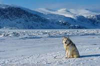 Husky tethered on sea ice near Pangnirtung village. In much of the Arctic, Huskies are companions or pets rather than working sled dogs.
