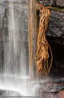 AUSTRALIA, Western Australia, West Kimberley. Fig tree roots & waterfall, Charnley River gorge.