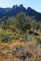 Autumn colour of deciduous Southern Beech (Nothofagus gunnii) & Mt Geryon, The Labyrinth, Cradle Mountain - Lake St Clair National Park, Tasmanian Wilderness World Heritage Area.