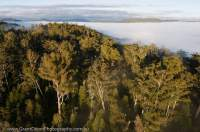AUSTRALIA, Tasmania, Southwest. Dawn valley mist over tall Eucalypt-dominated wet forest in upper Florentine valley, zoned for logging.