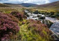 Heather and stream, Wicklow Mountains, County Wicklow, Ireland.