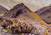 Autumn (Fall) colour of alpine shrubs on slopes below Namlung La (4900m), Hemis National Park.