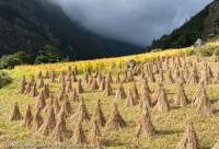 Stooks in harvested field, Tsum Valley, Manaslu Circuit trek, Nepal