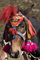 Decorated pack-horse, Manaslu Circuit trek, Nepal
