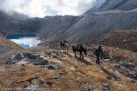 Pack-horses beside Larkya Glacier lateral moraine & lake, Manaslu Circuit trek, Nepal