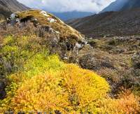 Shrub in autumn colour, Manaslu Circuit trek, Nepal