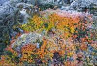 Frosted shrubs in autumn colour, Manaslu Circuit trek, Nepal