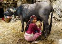 NEPAL, Mugu. Woman milking buffalo.