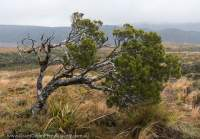 Gouland Downs wind-pruned shrub, Heaphy Track, New Zealand
