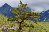 NORWAY, Troms, Lyngsalpan (Lyngen Alps). Scots Pine tree growing on moraine terrace, Strupskardelva.