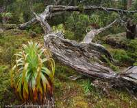 Cradle Mtn - Lk St Clair National Park, Tasmanian Wilderness World Heritage Area.