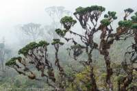 Misty alpine forest, Star Mountains, Papua New Guinea.