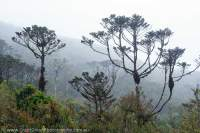 Coniferous alpine woodland, Star Mountains, Papua New Guinea.