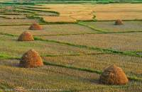 Haystacks in harvested rice fields, on flats beside Doktawady River, northern Shan Highlands. Sunset.