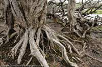 AUSTRALIA, Tasmania, Southwest National Park. Stilt-roots on teatree fringing Paradise Lagoon.