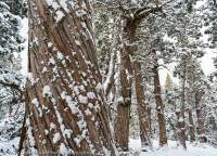 Pencil Pines in snow, Walls of Jerusalem National Park, Tasmanian Wilderness World Heritage Area.