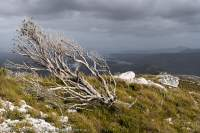 Fire-killed banksia, Davey valley, Southwest National Park, Tasmanian Wilderness World Heritage Area